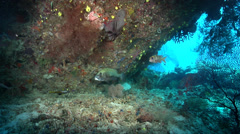Many spotted sweetlips hovering, Plectorhinchus chaetodonoides, HD, UP19418 Stock Footage