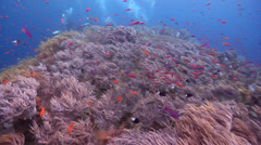 Chaotic hoard of scuba divers on shallow coral reef with Slimy leather coral in Stock Footage