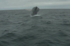 Humpback whale breach in Ecuador 6 Stock Footage