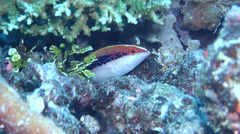 Juvenile Coronation trout swimming, Variola louti, HD, UP19510 Stock Footage
