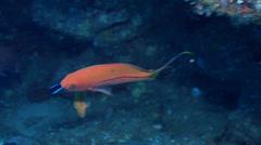 Striped anthias swimming, Pseudanthias fasciatus, HD, UP19530 Stock Footage