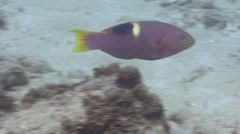 Golden-spot hogfish swimming, Bodianus perditio, HD, UP19537 Stock Footage