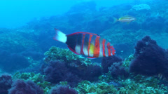 Harlequin tuskfish swimming, Choerodon fasciatus, HD, UP19578 Stock Footage