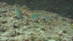 Dusky rabbitfish feeding, Siganus fuscescens, HD, UP19591 Stock Footage