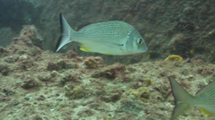 Yellow-finned bream territorial, Acanthopagrus australis, HD, UP19592 Stock Footage
