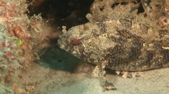False stonefish, Centrogenys vaigiensis, HD, UP19597 Stock Footage