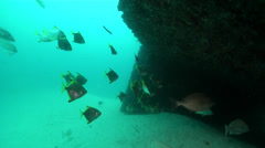 Diamondfish swimming and schooling on wreckage, Monodactylus argenteus, HD, Stock Footage