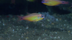 Capricorn cardinalfish swimming and schooling, Ostorhinchus capricornis, HD, Stock Footage