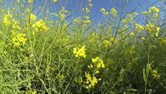 2K - canola field - stock footage