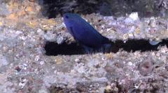 Australian damsel swimming on wreckage, Pomacentrus australis, HD, UP19628 Stock Footage