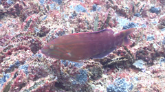 Gunther's wrasse swimming on wreckage, Pseudolabrus guentheri, HD, UP19641 Stock Footage