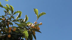 Chinese plums and the blue sky Stock Footage