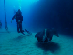 Group of scuba divers swimming on wreckage with Black-blotched stingray in Stock Footage