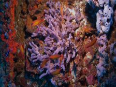 Tubular beautiful sponge on wreckage, Callyspongia deficiens, HD, UP19694 Stock Footage