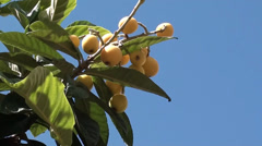 Chinese plums on the tree zoom out Stock Footage