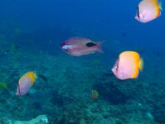 Tarry hogfish swimming, Bodianus bilunulatus, HD, UP19708 Stock Footage