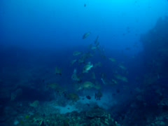 Yellow-spotted sweetlips swimming and schooling on deep coral reef, Stock Footage