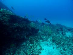 Ornate wobbegong shark sleeping on deep coral reef, Orectolobus ornatus, HD, Stock Footage