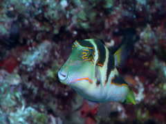 Pacific crown toby swimming, Canthigaster axiologus, HD, UP19725 Stock Footage