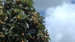 Japanese plum and sky zoom in Stock Footage