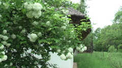 Jasmine near the house Stock Footage