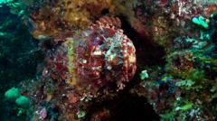 Red scorpionfish, Scorpaena cardinalis, HD, UP19742 Stock Footage