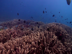 Ocean scenery hard coral gardens, on shallow coral reef, HD, UP19767 Stock Footage