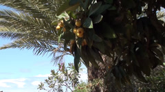 Japanese plum fruits and palm Stock Footage
