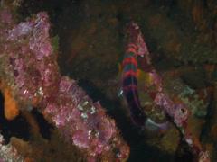 Harlequin tuskfish swimming, Choerodon fasciatus, HD, UP19806 Stock Footage