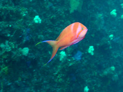 Male adult Striped anthias swimming on wreckage, Pseudanthias fasciatus, HD, Stock Footage