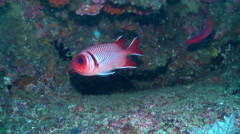 Blacktip soldierfish swimming, Myripristis botche, HD, UP19823 Stock Footage