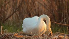 White mute swan checking eggs in the nest in nature, sunset, calm atmosphere Stock Footage