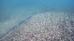 Anchor chain dragging across staghorn coral field, underwater, anchor damage, Stock Footage