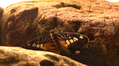 Butterfly flapping its wings Stock Footage