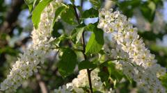 Blossom bird cherry tree flowers Stock Footage
