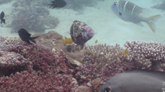 Female adult Schlegel's parrotfish swimming, Scarus schlegeli, HD, UP19934 Stock Footage