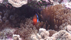 Red-and-Black anemonefish hiding, Amphiprion melanopus, HD, UP19942 Stock Footage