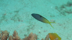 Forktail fangblenny swimming, Meiacanthus atrodorsalis, HD, UP19960 Stock Footage
