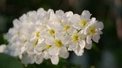 Blossom bird cherry tree flowers macro Stock Footage