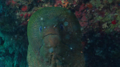 Giant moray gaping, Gymnothorax javanicus, HD, UP20030 Stock Footage