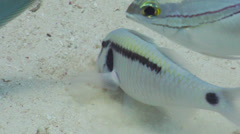 Dash dot goatfish feeding on sand, Parupeneus barberinus, HD, UP20043 Stock Footage