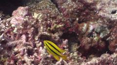 Juvenile Yellowtail damsel swimming, Neoglyphidodon nigroris, HD, UP20080 Stock Footage