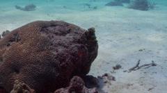 Common reef octopus walking, Octopus cyanea, HD, UP20095 Stock Footage