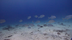 Yellowspotted trevally swimming and schooling on sand and coral rubble, Stock Footage