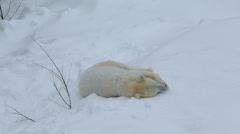 Polar Bear relaxing snow covered Wildlife Park Ranua Finland Stock Footage