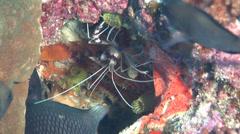 Threespot damsel feeding, Dascyllus trimaculatus, HD, UP20206 Stock Footage