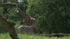 Giraffes and Zebras Together, 4K, UHD Stock Footage