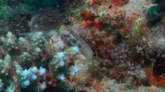 Spotted coralblenny, Ecsenius stictus, HD, UP20273 Stock Footage