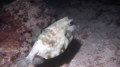 Roundbelly cowfish hovering at night, Lactoria diaphana, HD, UP20281 Stock Footage