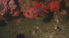 Striped anthias swimming in cavern, Pseudanthias fasciatus, HD, UP20297 Stock Footage